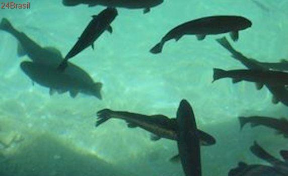 Criação de salmão causa desequilíbrio no ecossistema marinho
