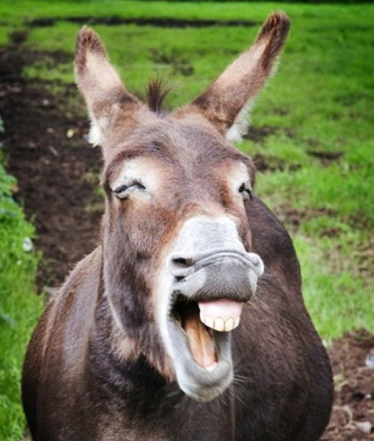 17 Best images about Donkey's on Pinterest | Animals, Laughing and ...