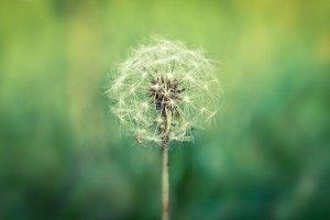 Seeds Dandelion Ready to Flight HD Wallpaper