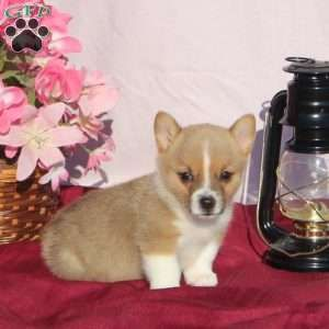 Pembroke Welsh Corgi Puppy in Airville, PA