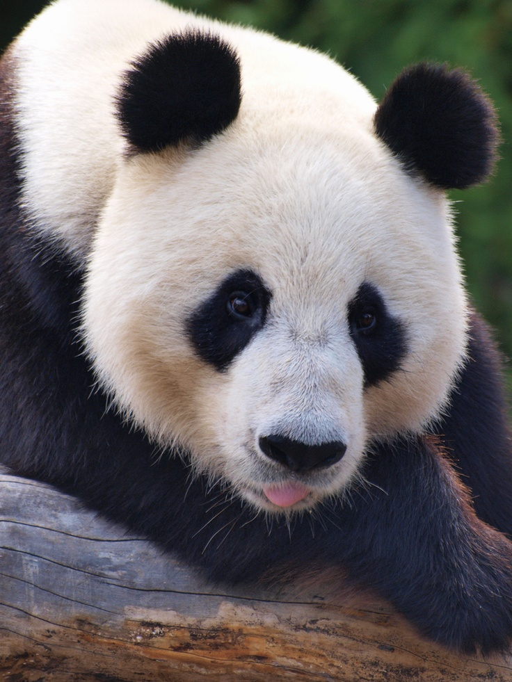 Wang Wang at the Adelaide Zoo in Australia on December 16, 2010. © Amy Atherton.