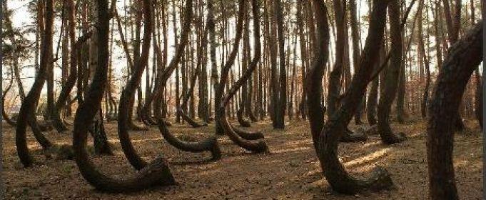 krzywy las pod gryfinem