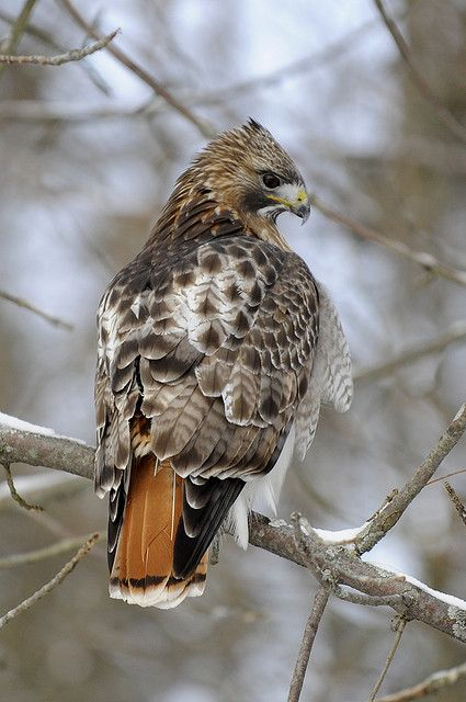 red-tailed hawk by Steve Courson
