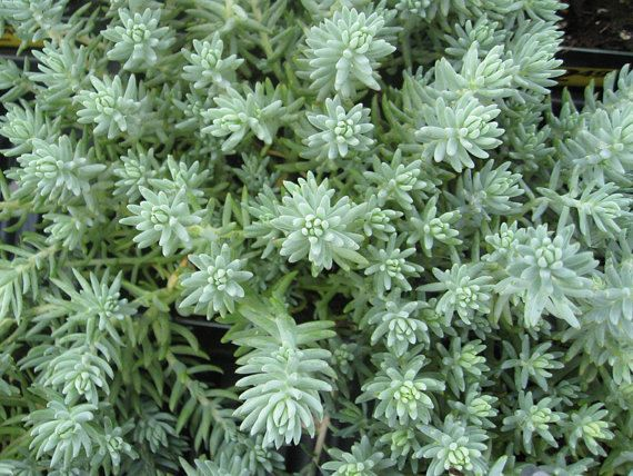 Twenty Sedum reflexum Blue Spruce - 20 Live Fully Rooted Perennial Plants by Hope Springs Nursery - Stonecrop - Succulent foliage $47.70
