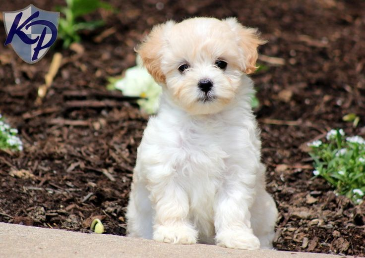 Image Result For Maltese Mix Puppies For Sale Rochester Ny