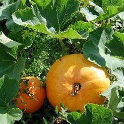 Courges, Potirons, Citrouilles | Culture, semis et récolte au potager | Pearltrees