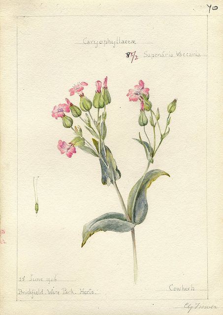 Saponaria vaccaria, Herts. 1906 by peacay, via Flickr