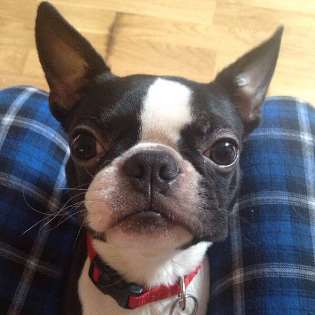 "768 Likes, 29 Comments - Vegas the Boston (@vegastheboston) on Instagram: ""#vegastheboston #bostonterrier"""
