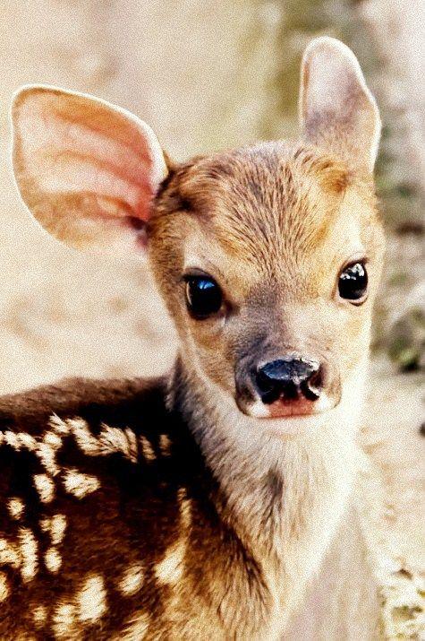 sweet baby deer aka fawn!