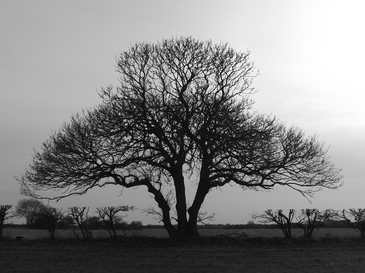 Two images of the same tree from different perspectives, producing an interesting illusory effect. North West Norfolk.