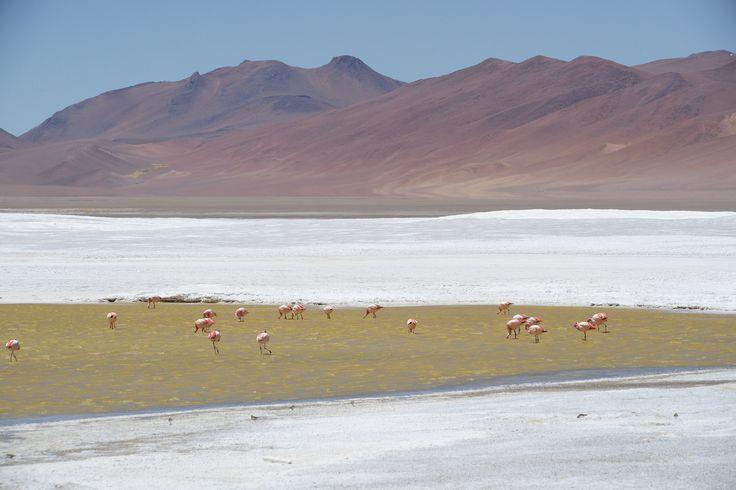 Salar de Pujsa, Atacama, Chile  Flamingot sinnittelevät 4,5 km korkeudella Andeilla, ikuisesta myrskytuulesta huolimatta.  http://www.exploras.net/uudet-tekstit/#/10-ikkunaa-atacamaan-chileen/