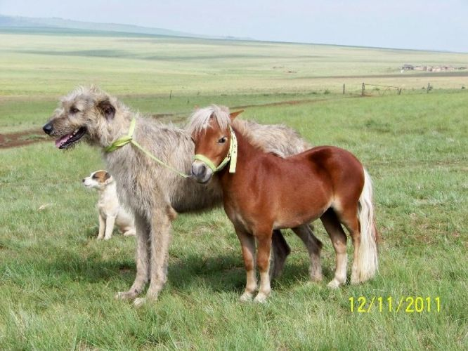 All About Irish Wolfhounds | Irish wolfhounds for Sale in Ermelo, Mpumalanga Classified ...
