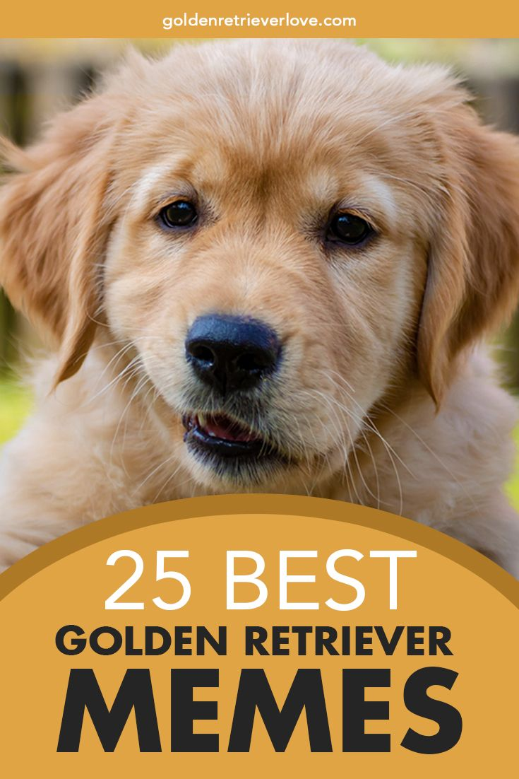 25 Best Golden Retriever Memes Golden Retriever Golden