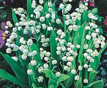 Lily of the Valley | Bloom IQ