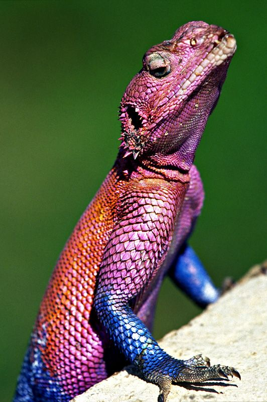 Red Headed Agama lizard. This colorful lizard is native to Africa. They can change color according to temperature and the males color can change based on mood.