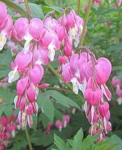 """Überwinterung """"#Traenendes #Herz"""":   Die Pflanze ist winterhart und überwintert an Ort und Stelle. Da sie sich nach der Blüte vollständig zurückzieht, bleiben nur die unterirdischen Pflanzenteile erhalten. Sie schlagen im zeitigen Frühjahr neu aus."""