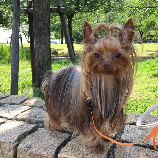 *** 2017. 4. 30. sun ・ 今日は海沿いにある 芝生や緑が多い公園へ ・ 木陰に一休みしたいのに 早く 芝生で走り回りたくて キョロキョロ キュンキュン 周りが気になって仕方ない りっくんでした …ワン U・(エ)・U ワン ・ #ヨークシャテリア#ヨーキー#チョコ色 #愛犬#愛犬家#小型犬#犬がいる生活 #ファインダー越しの私の世界 #犬好きな人と繋がりたい#犬好き #yorkshireterrier#yorkie#yorkiegram #yorkielove#yorkieoftheday#yorkielife #yorkienation#yorkiesofinstagram#pet #petsofinstagram#dogs#dog #dogstagram#Instadog#yorkies ……………………🐾