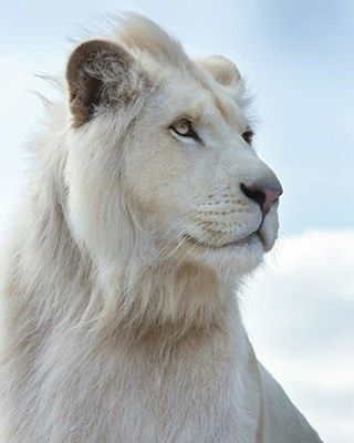 White and noble King  Photography by ©Jean-Pierre Collin #Wildgeography