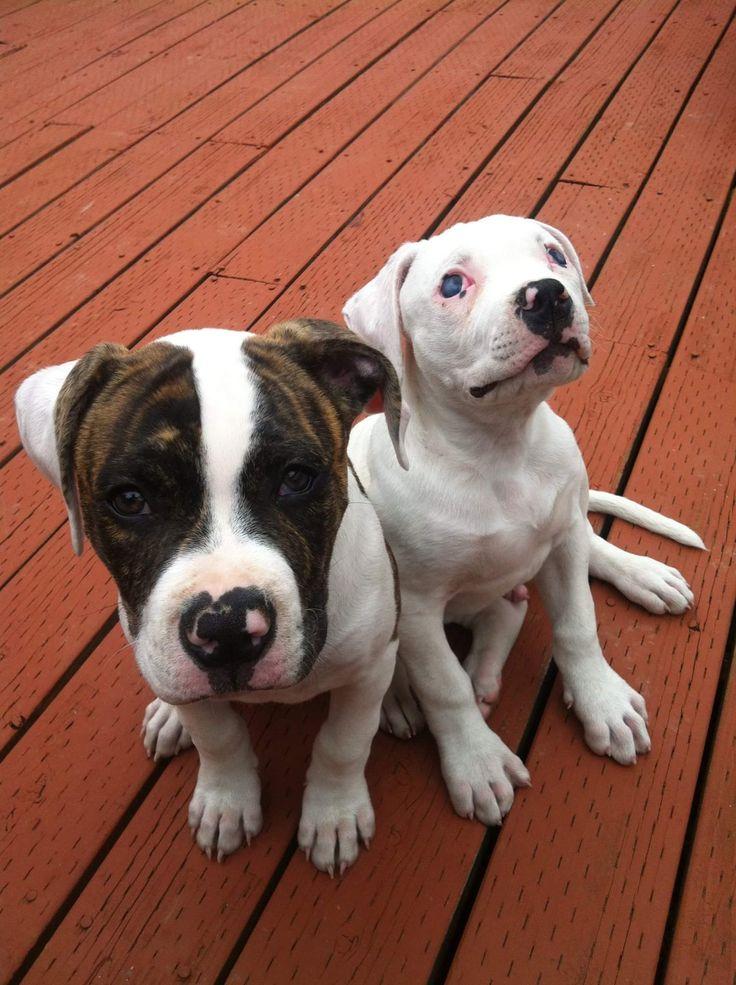 My Johnson American Bulldog puppies; Fenrir and Ivar.