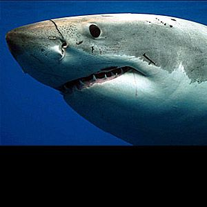 Great white Types of Shark : Discovery Channel BEAUTIFUL