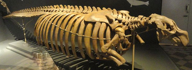 """Skeleton in Finland - """"The Steller's sea cow (Hydrodamalis gigas) was a large, herbivorous marine mammal. [...] Although the sea cow had formerly been abundant throughout the North Pacific [...] Within 27 years of discovery by Europeans, the slow-moving and easily captured Steller's sea cow was hunted to extinction."""""""