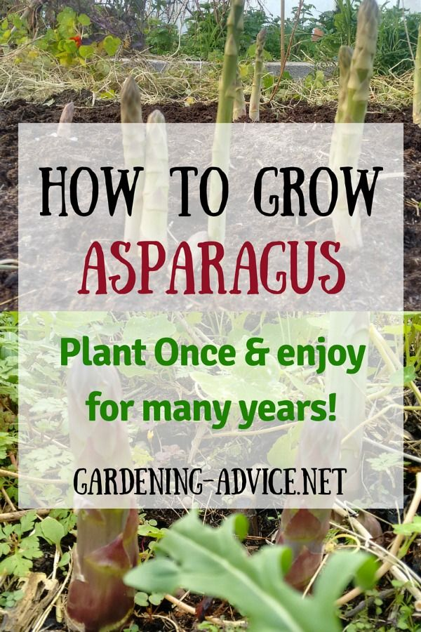 Growing Asparagus is easy and will reward you for many years. Learn how to best plant asparagus, the different varieties and harvesting this delicious vegetable.  Asparagus is a lot of fun, actually isn't much work, and offers you a wonderful vegetable that is high in many of the vitamins and minerals that your body needs.