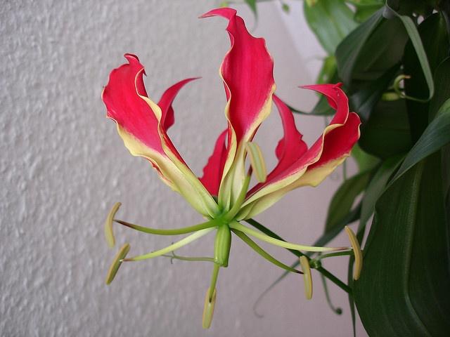 Ruhmeskrone (Gloriosa superba) by Bluecherry1408, via Flickr
