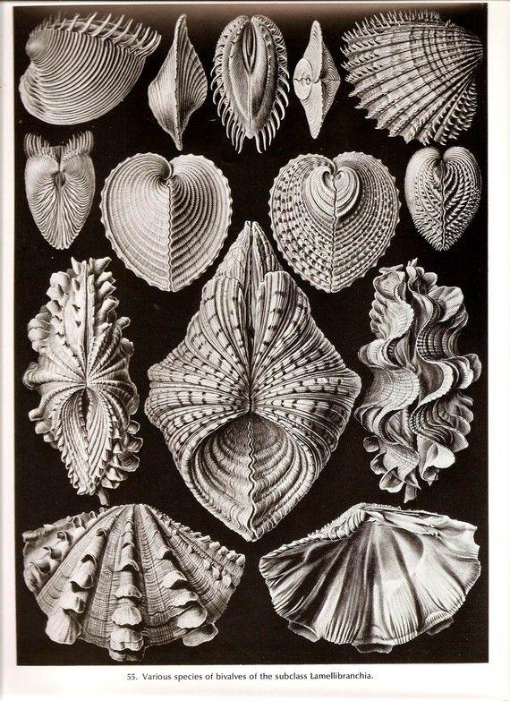 エルンスト ・ ヘッケル ヴィンテージ印刷 1974年海シェル アート美しい Frameable 本板 55 56 Lamellibranchia 貝、甲殻類のカイアシ