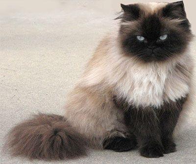 Himalayan Cat = Persian+Siamese - Different type of cats Catsincare.com