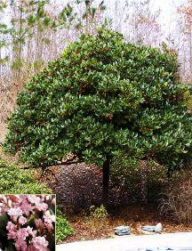 Indian Hawthorne Tree U0027Rosalindau0027, Side Yard? 14h 10w Near House? Patio