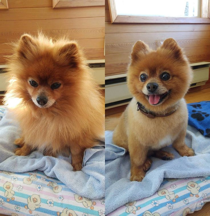 Pom Haircut For Your Dog Grooming