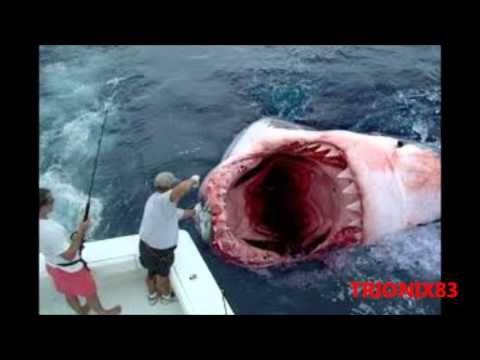 Animales Extraños: GIANT SHARK! MEGALODON!, Tiburones gigantes. ¿Sigue vivo el Megalodon?