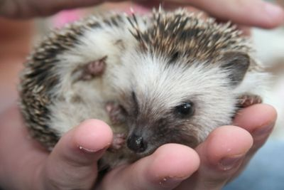Pet Hedgehog Pictures: Pokey - African Pygmy Hedgehog