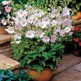 Buy Tree Mallow Barnsley Baby PP#14,163 online from Park Seed