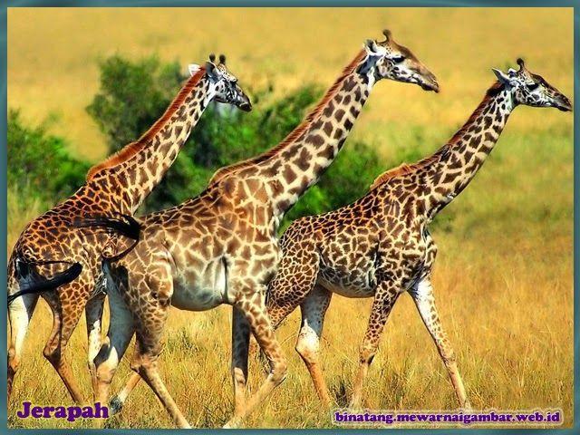 Nama Binatang Dari Huruf J Nama Gambar Binatang Animals Beautiful African Animals Wild Animal Wallpaper