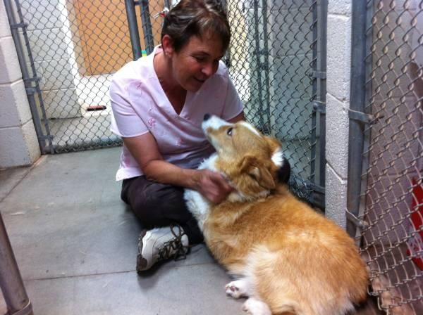 Arizona Cactus Corgi Rescue: The Go-To Spot for Homeless Welsh Corgis | Dogster