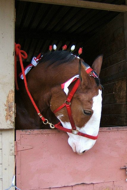 Budweiser Clydesdales visit (by something.from.nancy)