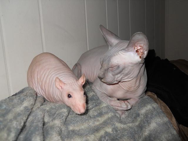 hairless rats <3 hairless cats.