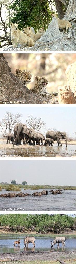 Sightings at Kings Pool Camp in the Linyanti Wildlife Reserve in Botswana in October 2013