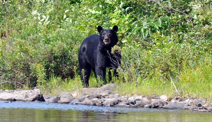 White Lake Provincial Park- American black bear