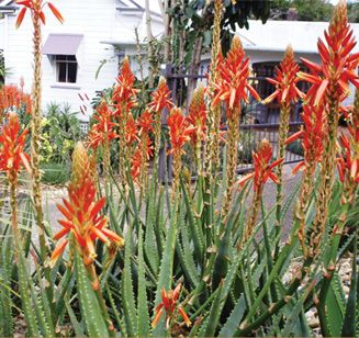 """Aloe 'Always Red', hybridized by Leo Thamm of Sunbird Aloes, in South Africa.  """"An incredibly long-flowering medium-sized Aloe with shiny red blooms during summer, autumn and winter months – typically blooming up to 10 months each year. Always Red is a very versatile and vigorous plant and will work very well as container plant or grown towards the front of a border.   Exposure: Full sun to part sun Size: 12-18"""" tall x 18-24"""" wide Frost Tolerance: Moderate"""""""