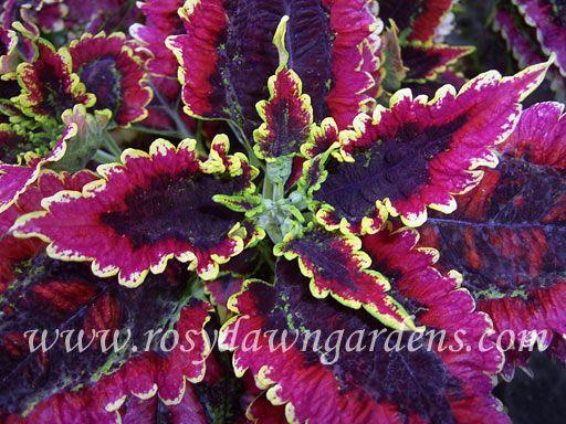 El Brighto Coleus | RosyDawnGardens.com : Online Coleus Plant Catalog | Rosy Dawn Gardens, | Coleus Growing Specialists