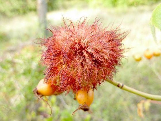 GRATTE-CUL (rosehip) : nom familier pour le cynorrhodon, le fruit de l'églantier. On peut en faire de la confiture ou une liqueur. Le cynorrhodon est appelé vulgairement «gratte-cul», car il fournit du poil à gratter.