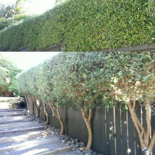 Olive hedge