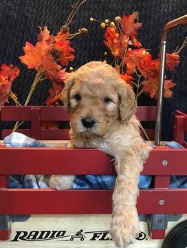 Australian Labradoodle puppy for sale in OCONOMOWOC, WI. ADN-49747 on PuppyFinder.com Gender: Female. Age: 4 Weeks Old