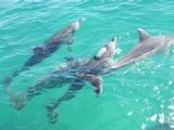 Dolphins from Tangalooma Resort(Moreton Island).