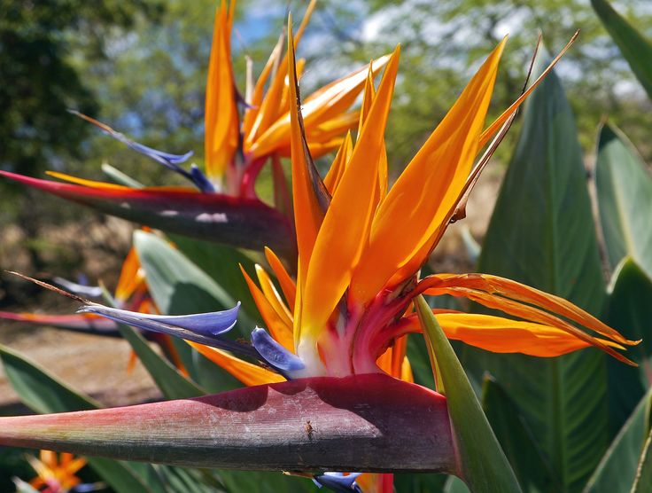 Bird of Paradise#Hawaii We have three in our yard