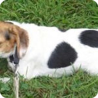 Dumfries, VA - Beagle Mix. Meet Cricket, a dog for adoption. http://www.adoptapet.com/pet/18744355-dumfries-virginia-beagle-mix