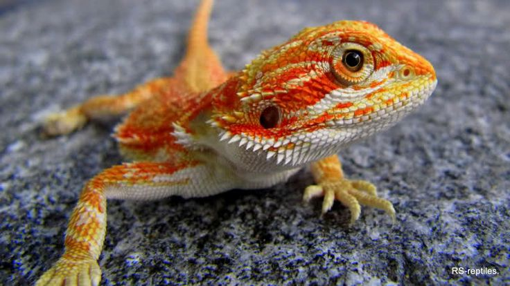 Citurs and Blood Red Bearded Dragon. Soo cute