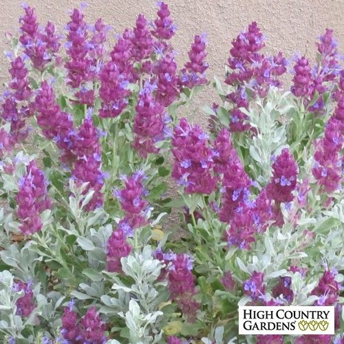 Exclusive. This High Country Gardens introduction, Salvia pachyphylla 'Mulberry Flambé' (Mulberry Flambé Mojave Sage), has dark, mulberry-purple bracts and blue flowers held over pure silver, evergreen foliage. Drought resistant/drought tolerant plant (xeric).